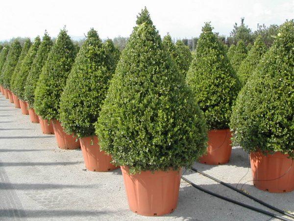 buxus_rotundifolia_cone_ir